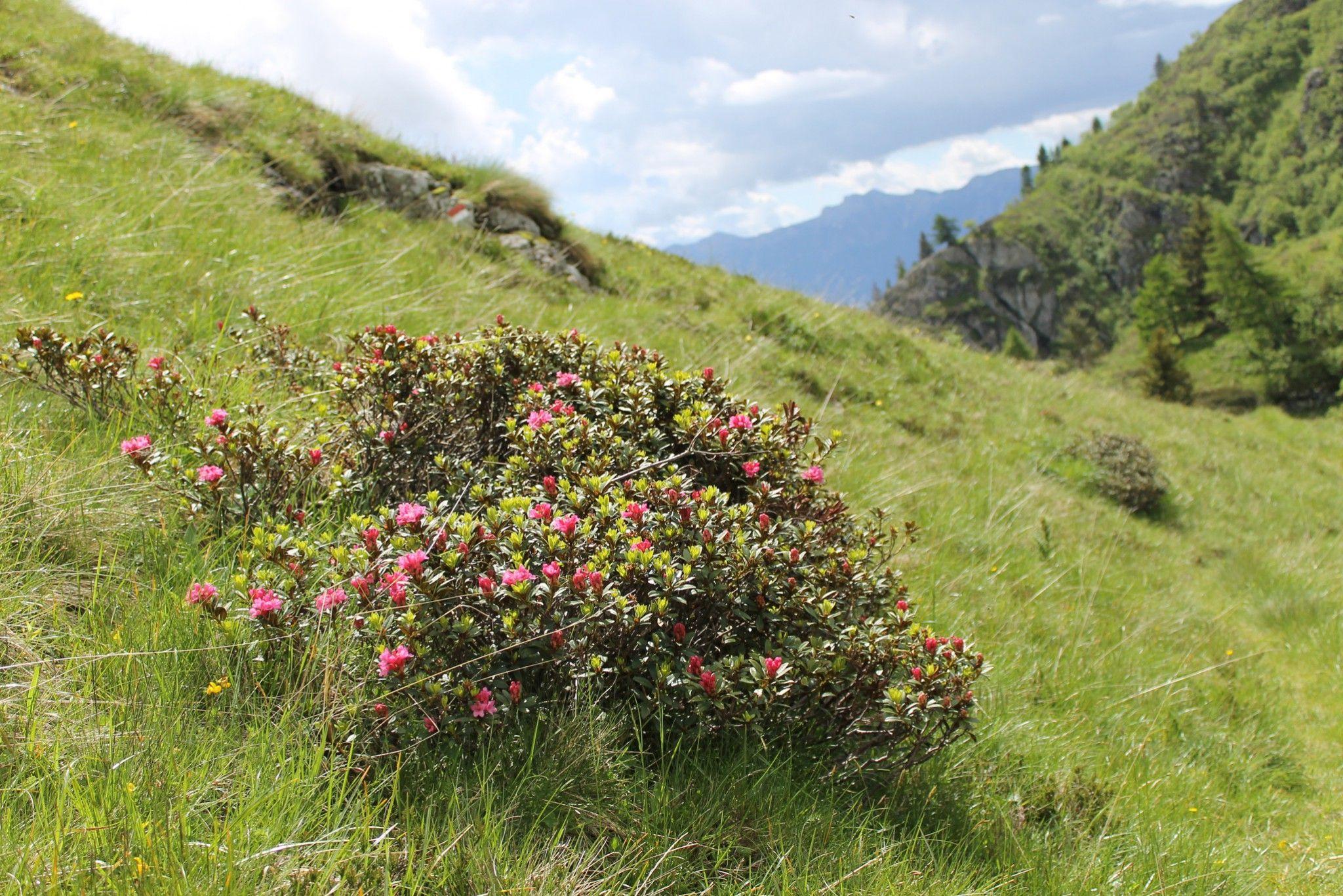 Rododendri in fiore a luglio